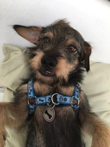 O Filé é filho da Gabriela, de São Paulo/SP. Ele é um filhotão de 10 meses e o passatempo preferido dele é arrancar a espuma do sofá da madrinha!