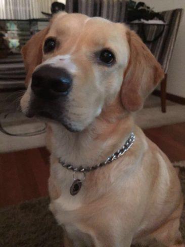 O Fireball é filho do Thiago, de SP.  Ele é mestiço de beagle com labrador e foi resgatado no Bronx, em Nova Iorque.
