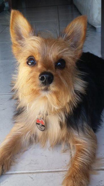 A Ivy, filha da Luíza, é uma yorkshire muito sapeca e não para quieta. Ela amou a plaquinha de pokebola.