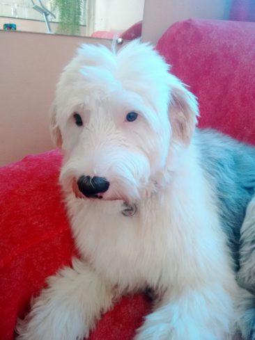 A Moli é uma Old English Sheepdog, ela é filha da Gilmara, de Minas Gerais.