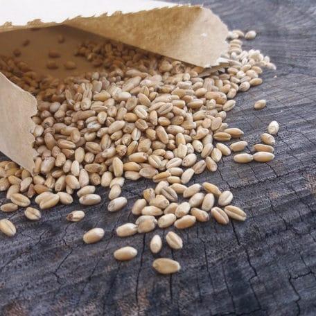 semente-de-graminha-organica-para-gatos-trigo